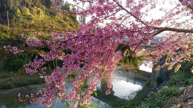 Hoa anh đào nở rực rỡ tại thị trấn Bắc Hà