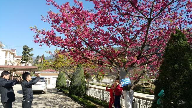 Du khách thích thú ngắm cảnh và chụp ảnh hoa anh đào