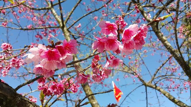 Hoa anh đào khoe sắc tại Sa Pa