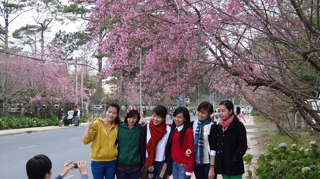 Con đường mai anh đào thu hút du khách chụp hình lưu niệm tại địa điểm du lịch Đà Lạt