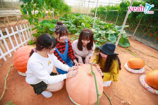 vườn bí ngô thu hút khoảng 50 lượt khách tham quan