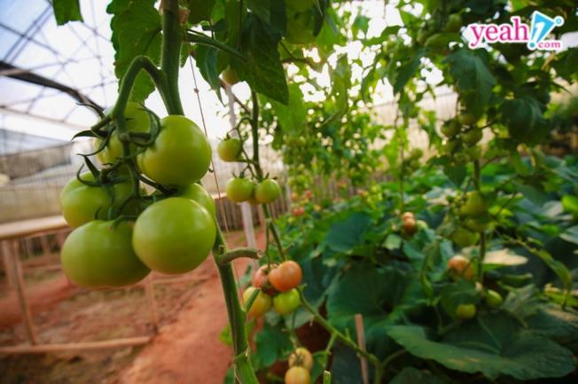 Những dây cà chua bi sai quả cạnh vườn bí ngô