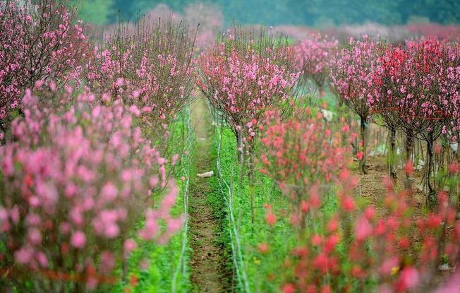 Hoa đào đón xuân