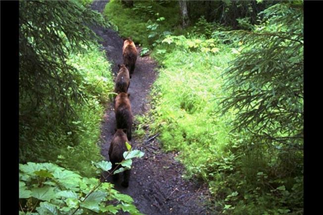 Một đàn gấu nối đuôi nhau đi kiếm mồi