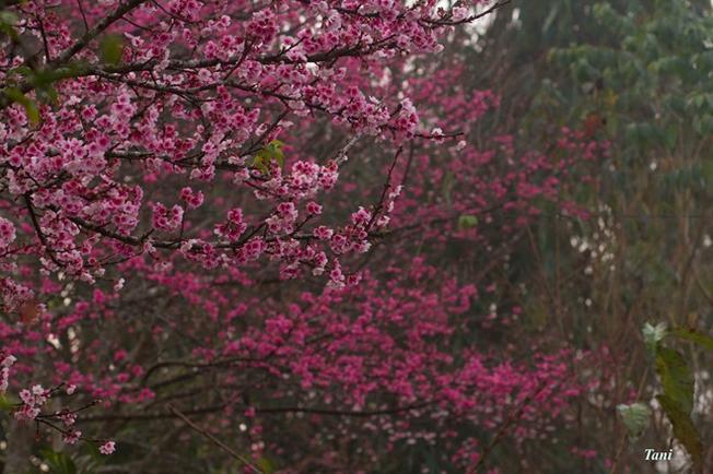 Đại sứ quán Nhật xin lại 5 cây