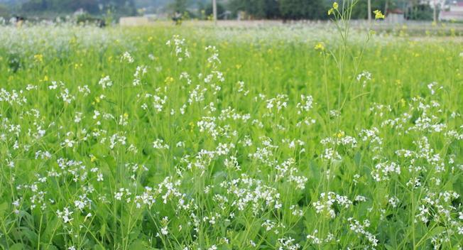 Cánh đồng hoa cải trắng trên cao nguyên Mộc Châu