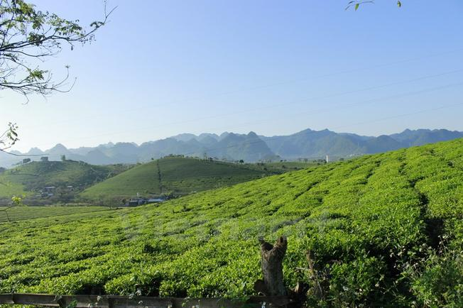 Đồi chè xanh mướt trên cao nguyên Mộc Châu