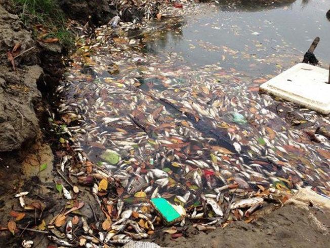 Nước biển nhiễm độc gây cá chết hàng loạt