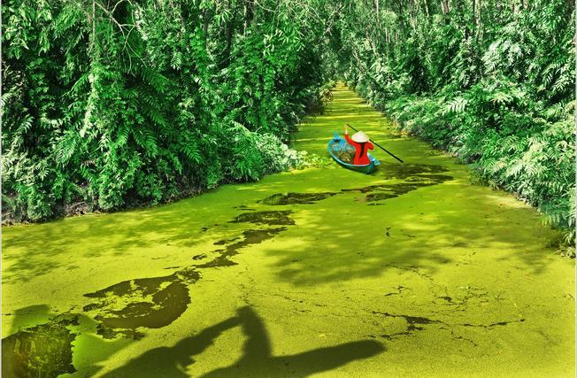 Rừng U Minh xanh mượt