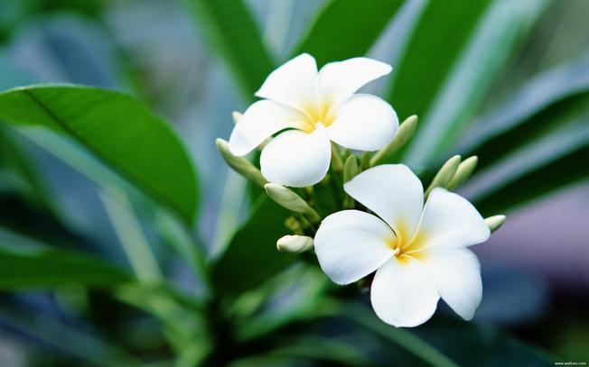 Vẻ đẹp tinh khôi của hoa sứ