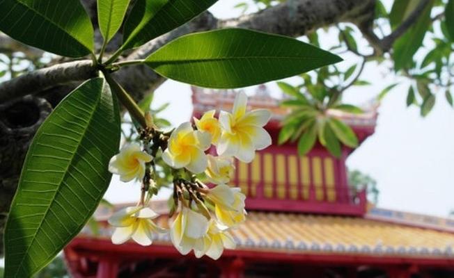 Hoa sứ tô điểm co Phu Văn Lâu