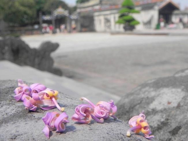 Những bông hoa ngô đồng mềm mại