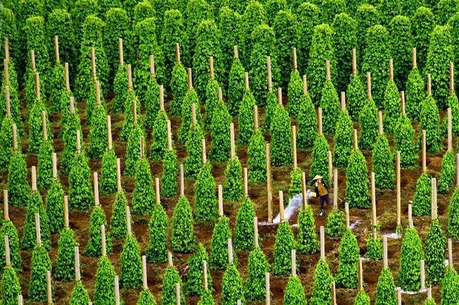 Vườn tiêu suối Đá Phú Quốc